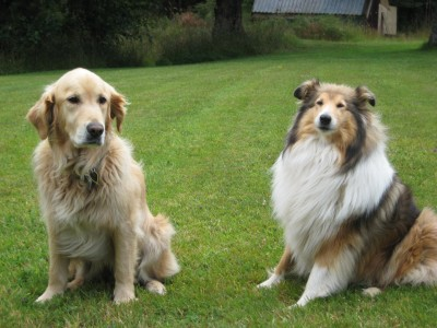 Tara (Golden Retriever) and Jodie (Rough Coat Collie)